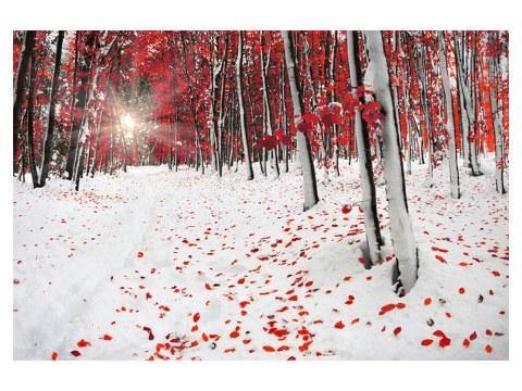 Photo de forêt de bouleaux