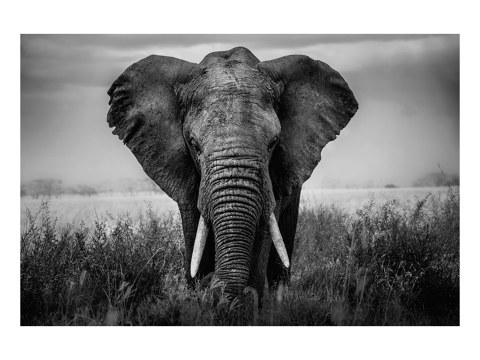 Elefant Portrait schwarz weiß Bilder