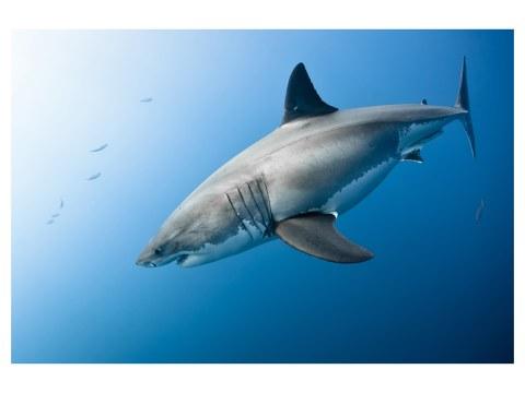 Photo de requin