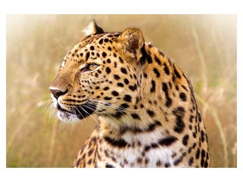 photos de léopard